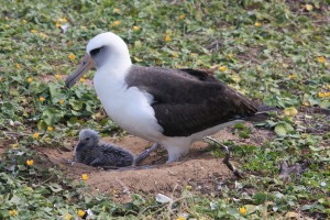 New Chicks at Ka`ena Point Natural Area Reserve